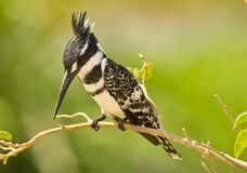 The Pied Kingfihser Stock Photography