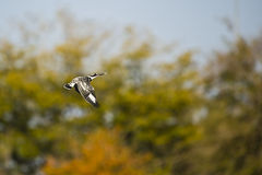 Pied Kingfisher Stock Photo