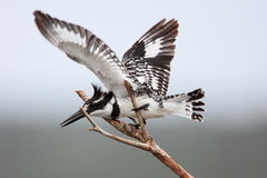 Pied Kingfisher Stock Images