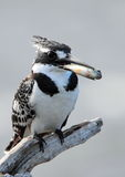 pied kingfisher Royaltyfri Foto