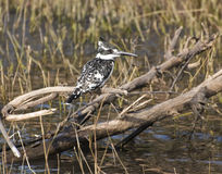 Pied Kingfisher. A pied kingfisher, a fairly common resident in Botswana. Pied kingfishers are commonly seen in the Okavango Delta and along the Chobe river Stock Photo