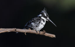 Pied kingfisher. In Kenya, africa Royalty Free Stock Photography
