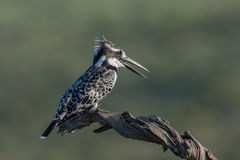 Pied Kingfisher. In Pilanesberg national park, South Africa Stock Photo