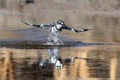 pied kingfisher Fotografering för Bildbyråer