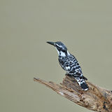 Pied Kingfisher Royalty Free Stock Photography