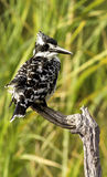 Pied Kingfisher Royalty Free Stock Image