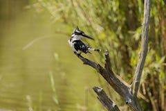 Pied Kingfisher Royaltyfri Fotografi