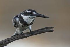 Pied Kingfisher Стоковые Изображения RF