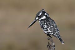 Free Pied Kingfisher Royalty Free Stock Photo - 30804455