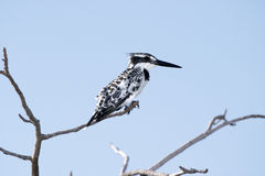 Pied Kingfisher Royalty Free Stock Photos
