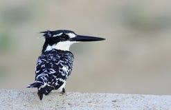 pied kingfisher Royaltyfri Bild