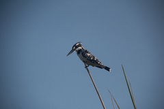pied kingfisher Royaltyfri Bild
