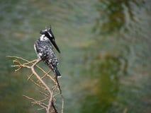 pied kingfisher Arkivbilder