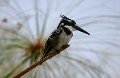 Pied Kingfisher. Perched on papyrus, Lake Naivasha, Kenya Royalty Free Stock Photography