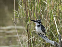 Pied kingfisher. The Pied Kingfisher (Ceryle rudis) is a kingfisher in the near passerine bird family Cerylidae, the water kingfishers. It is the only member of Stock Photo