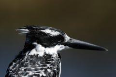 Pied Kingfisher. (Ceryle rudis) in the Okavango Delta, Botswana stock images