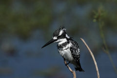 Pied Kingfisher Royalty Free Stock Images