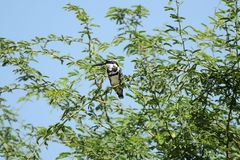 pied kingfisher Arkivfoton