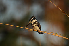 Pied Kingfisher Stock Photos