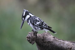 pied kingfisher Arkivbild
