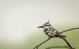 pied kingfisher Royaltyfria Bilder