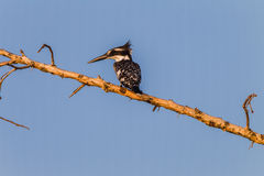 Pied Kingfisher Bird Branch Stock Photo