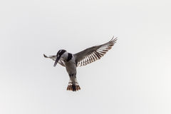 Pied-Kingfisher Bird Hovering royalty free stock images