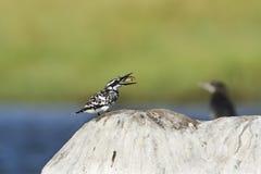 Pied kingfisher bird in Pottuvill, Sri Lanka Royalty Free Stock Photography