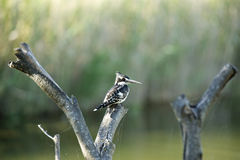 Pied Kingfisher bird Stock Images