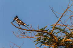Pied Kingfisher Bird Tree Stock Photo