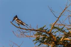 Pied Kingfisher Bird Tree stock photo