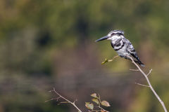 Pied Kingfisher. Black White Pied Kingfisher perched on a branch Royalty Free Stock Photography