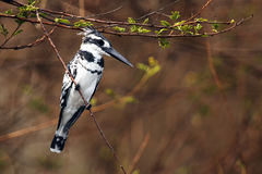 Pied kingfisher in the branch. The pied kingfisher & x28;Ceryle rudis& x29; sitting on the branch with brown background stock photography