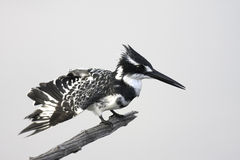 Pied Kingfisher. On branch of dead tree Royalty Free Stock Photo