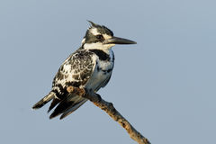 Pied Kingfisher on branch Royalty Free Stock Images