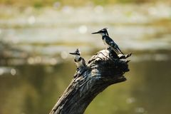 Pied Kingfisher (Ceryle rudis) Royalty Free Stock Image