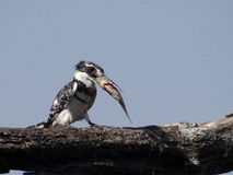Pied kingfisher (Ceryle rudis) Stock Photography