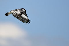 Pied Kingfisher (Ceryle rudis) Royalty Free Stock Photos