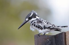 Pied Kingfisher (Ceryle rudis) Stock Images