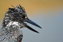 Pied kingfisher (Ceryle rudis) Stock Photography
