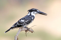 Pied kingfisher Ceryle rudis Male Royalty Free Stock Photography