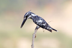 Pied kingfisher Ceryle rudis Male Birds of Thailand Stock Photos