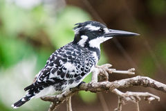 Pied Kingfisher. ( Ceryle Rudis ) perched on a branch Stock Image