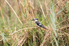 Pied Kingfisher. (Ceryle rudis) perched in reeds above water looking for prey, Okavango River, Namibia Stock Photos