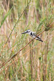Pied Kingfisher. (Ceryle rudis) perched in reeds above water looking for prey, Okavango River, Namibia Royalty Free Stock Photo