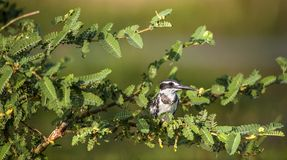 The Pied Kingfisher (Ceryle rudis) sits on a tree branch. Royalty Free Stock Photos