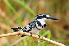 Pied kingfisher. The pied kingfisher Ceryle rudis sitting on a reed by the river Nile Stock Images