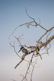 Pied Kingfisher Ceryle rudis sitting on a Tree, South Africa Royalty Free Stock Photos