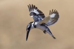 Pied Kingfisher (Ceryle rudis) South Africa. Pied Kingfisher hovering above a small pond in the Kruger Park. (Ceryle rudis Stock Photography