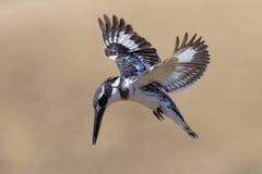 Pied Kingfisher (Cerylerudis) Sydafrika Arkivbild